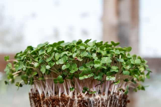 microgreen shoots